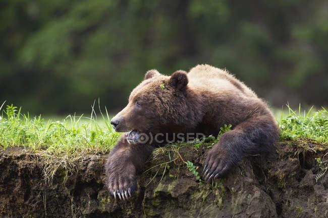 Orso Grizzly all'aperto — Foto stock
