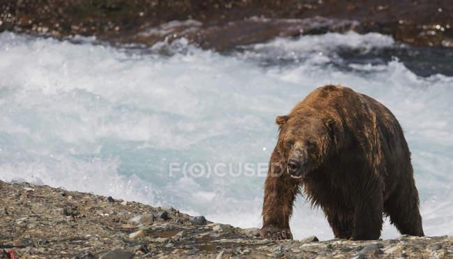 Humide ours brun — Photo de stock