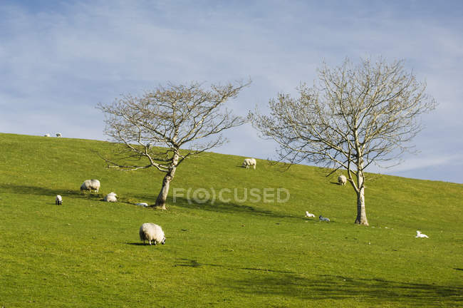 Moutons paissant sur la colline — Photo de stock