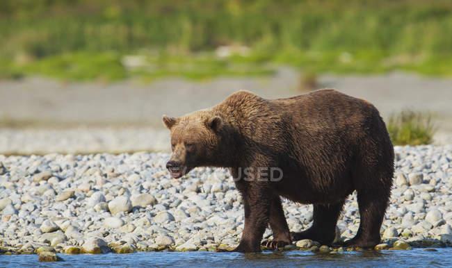 Orso bruno a piedi — Foto stock