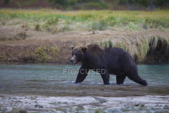 Brown Bear Walks Across Kinak Lagoon — Stock Photo