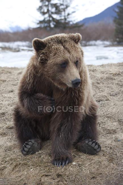 Captive Brown Bear At Alaska — Stock Photo