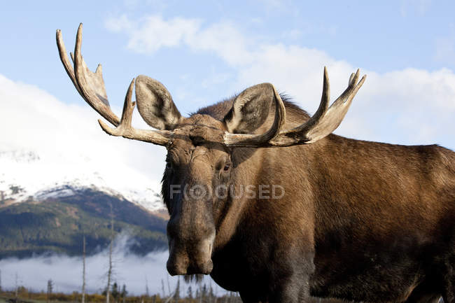 Large bull moose standing at wild nature, closeup — Stock Photo