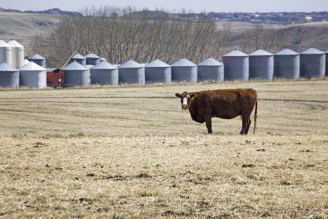 Bovins paissant dans le domaine de la chaume — Photo de stock
