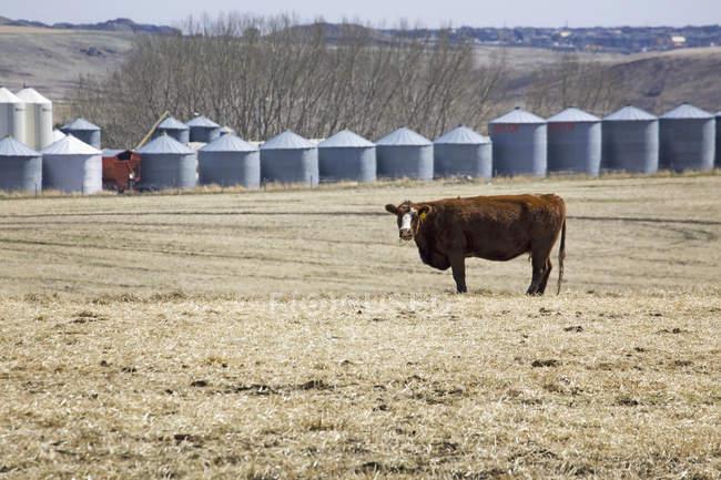 Rinder grasen auf Stoppelfeld — Stockfoto