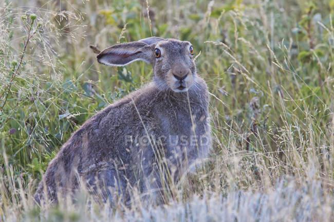 Jackrabbit sitting in grass — Stock Photo