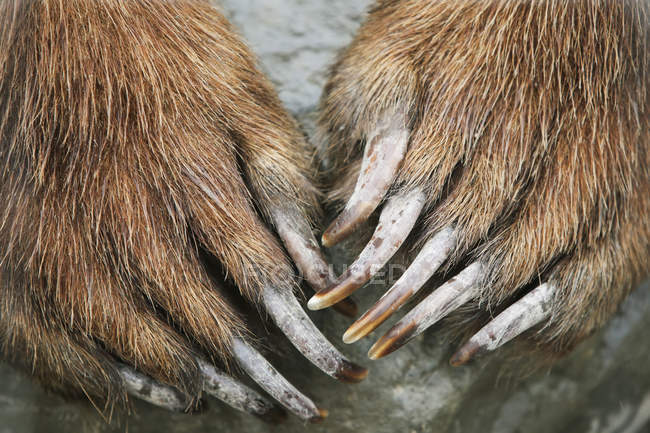 Brown Bear Paws And Claws — Stock Photo