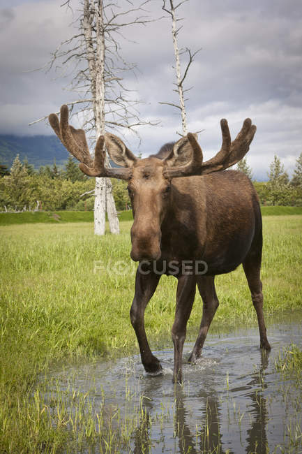 Grand bull moose debout près de la nature sauvage, closeup — Photo de stock