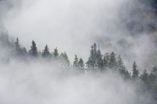 Niebla se levanta entre árboles - foto de stock