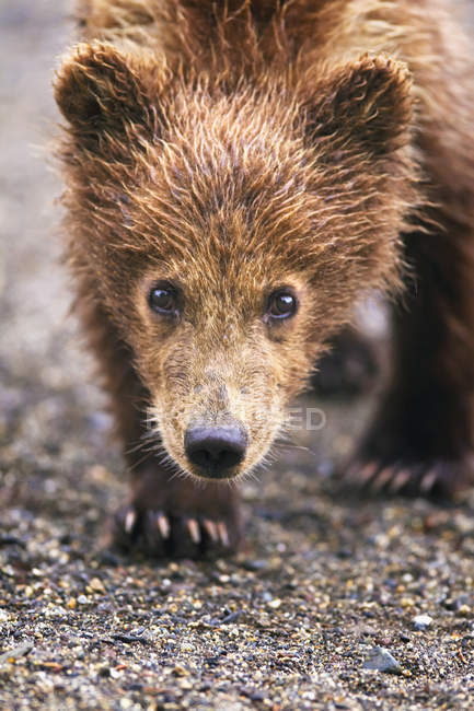 Brown bear cub walking towards camera — Stock Photo