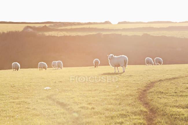 Pecore nel campo con la luce del sole — Foto stock