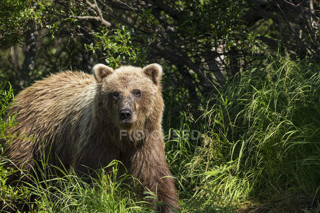 Brown bear emerges from the brush — Stock Photo