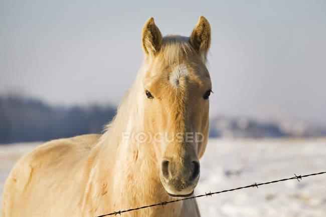Crema colorata cavallo — Foto stock