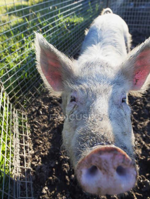 Mettere il muso del maiale — Foto stock