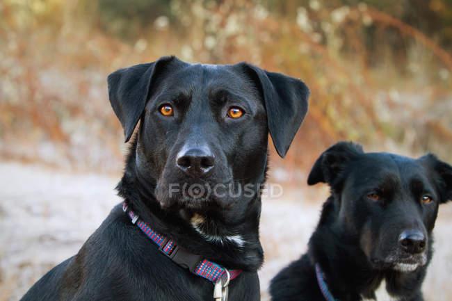 Due cani neri — Foto stock
