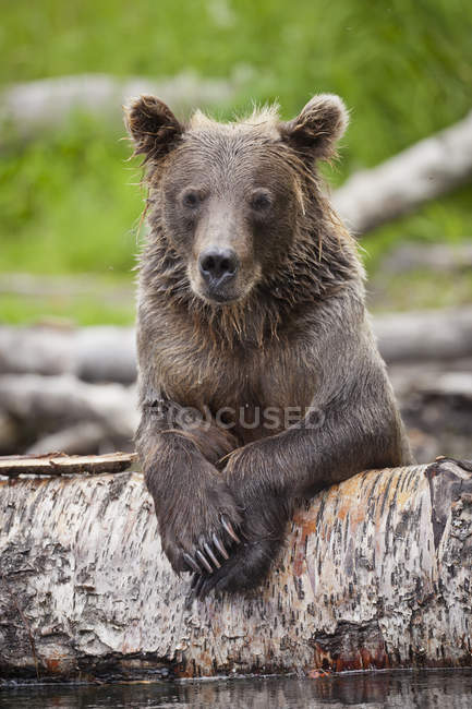 Brown Bear Rests On Fallen Log — Stock Photo