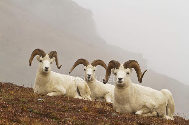 Pecore dall arieti — Foto stock