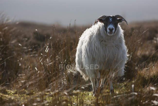 Pecora da solo in piedi nell'erba — Foto stock