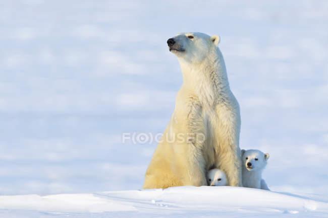 Scrofa di orso polare e cubs — Foto stock
