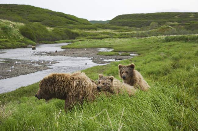 Grizzly Sau und zwei jungen — Stockfoto