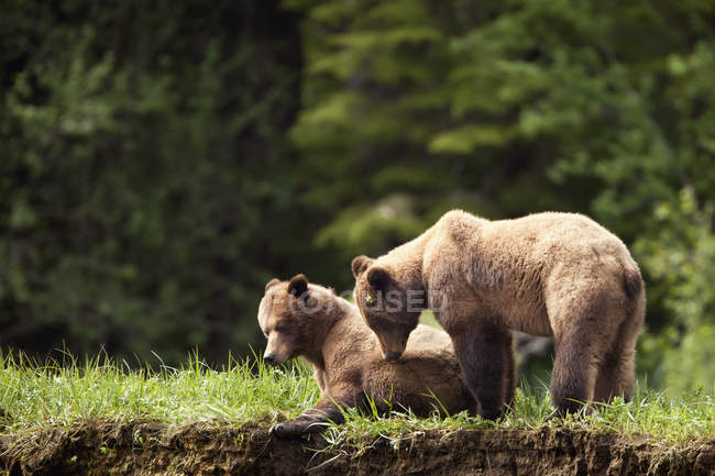 Two grizzly bears enjoying each other — Stock Photo