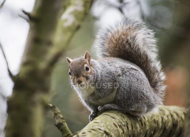 Scoiattolo grigio in albero — Foto stock