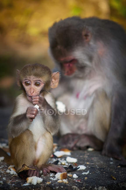 Monkey and mother eating together — Stock Photo