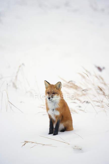 Zorro rojo en la nieve - foto de stock