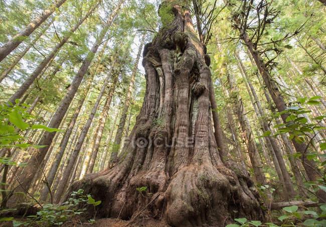 Árvore de cedro gigante árvore gnarliest do Canadá — Fotografia de Stock