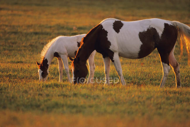 Pinto mare and foal graze on a green pasture in late afternoon light — Stock Photo