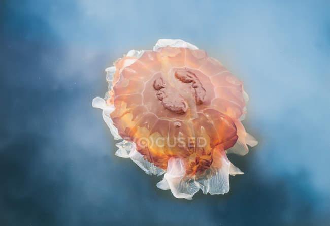 Medusa criniera di Leone — Foto stock