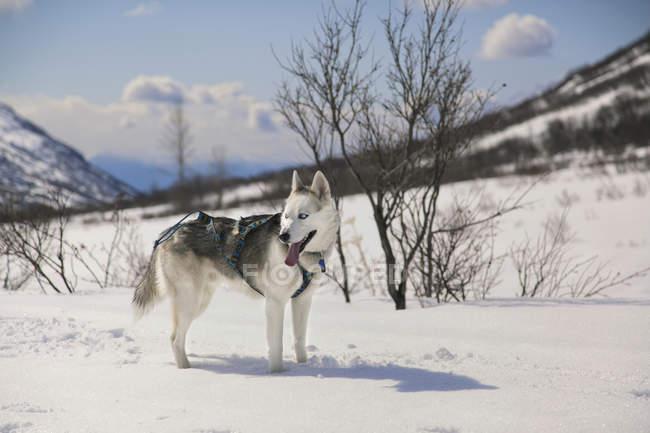 Siberian Husky Wearing A Chest Harness Standing In Snow On Archangel Trail Near Hatcher Pass, Talkeetna Mountains, Southcentral Alaska, Winter — Stock Photo