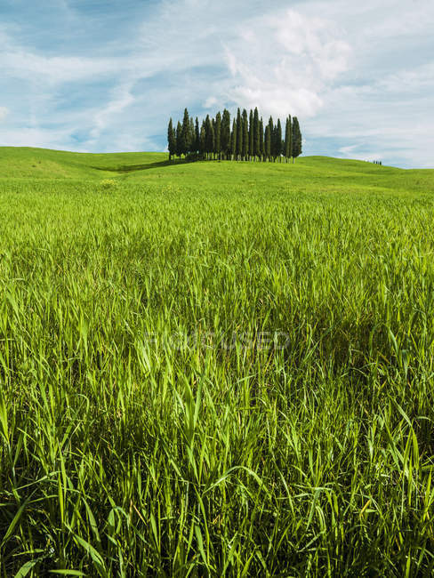 Group of cypress trees — Stock Photo