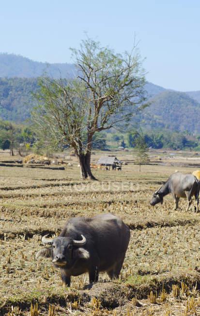 Buffalo in piedi nel campo — Foto stock