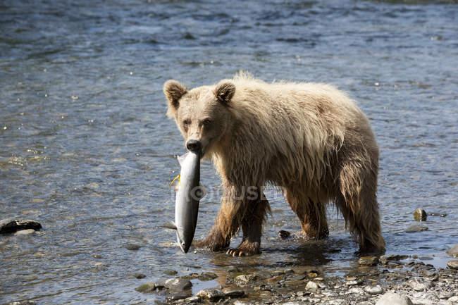 Brown Bear Looks At Camera — Stock Photo