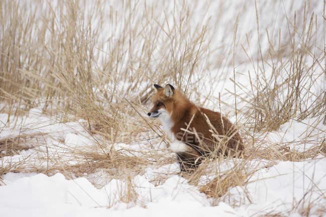 Red fox, сидя в снегу — стоковое фото