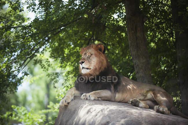 Leone poggia sulla roccia — Foto stock