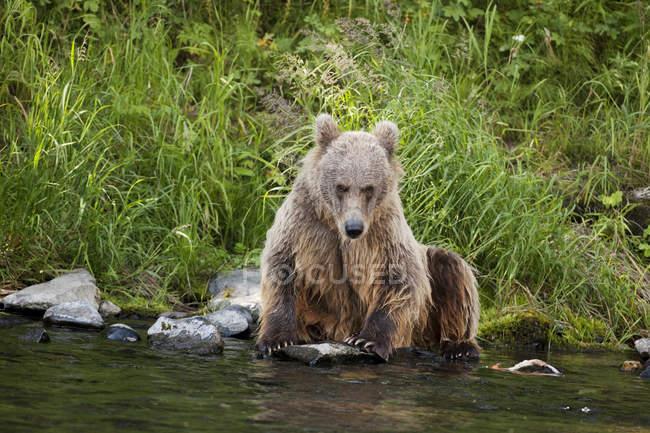 Female Brown Bear Sitting On Edge — Stock Photo