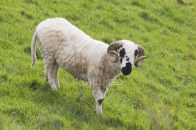 Nero ha affrontato le pecore nell'erba — Foto stock