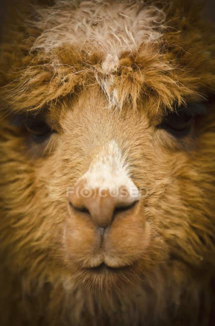 Close up of face of llama — Stock Photo
