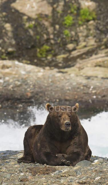 Orso bruno a riposo — Foto stock