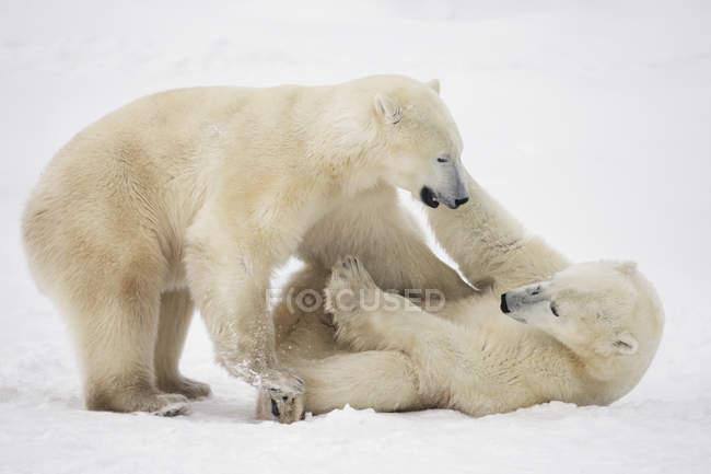Orsi polari (ursus maritimus) gioca combattimento lungo le rive del — Foto stock