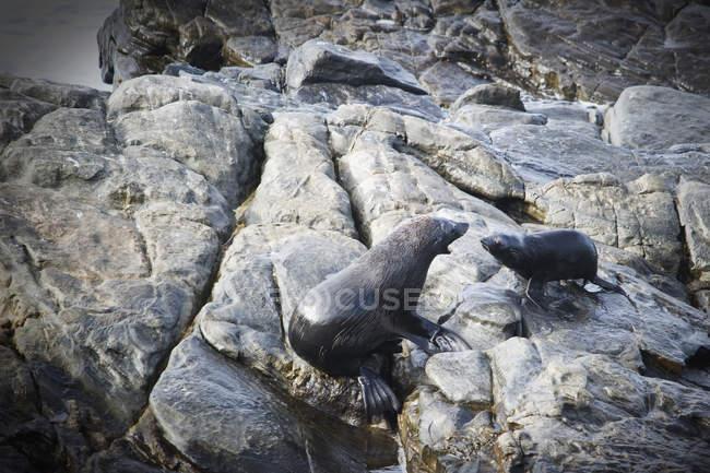 Guarnizioni che si siede sulla roccia — Foto stock