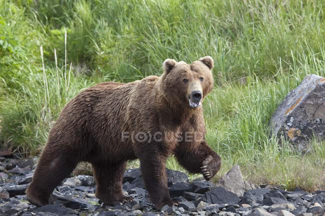 Grizzly zu Fuß an einem steinigen Strand — Stockfoto