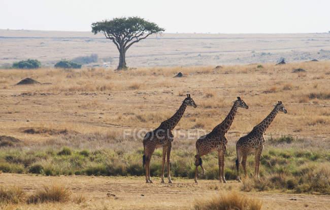 Drei Giraffen stehen hintereinander — Stockfoto