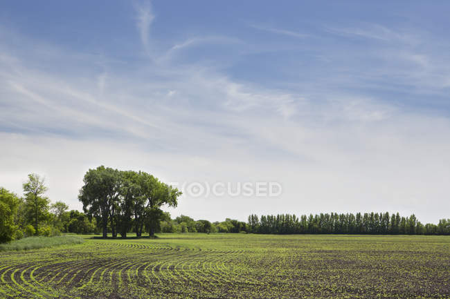 Canola Field Under A Blue Sky — Stock Photo