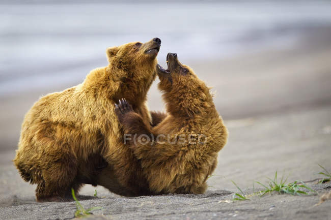 Due orsi bruni — Foto stock