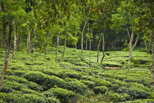 Plantação de chá; Sylhet, Bangladesh — Fotografia de Stock
