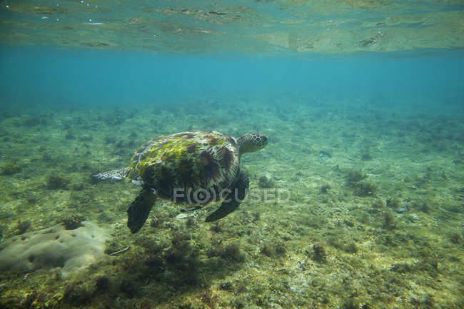 Морська черепаха плаває під водою — стокове фото