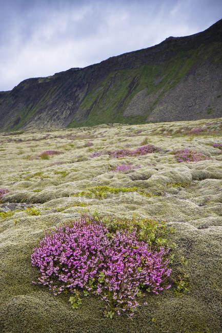 Trauben von lila Wildblumen — Stockfoto